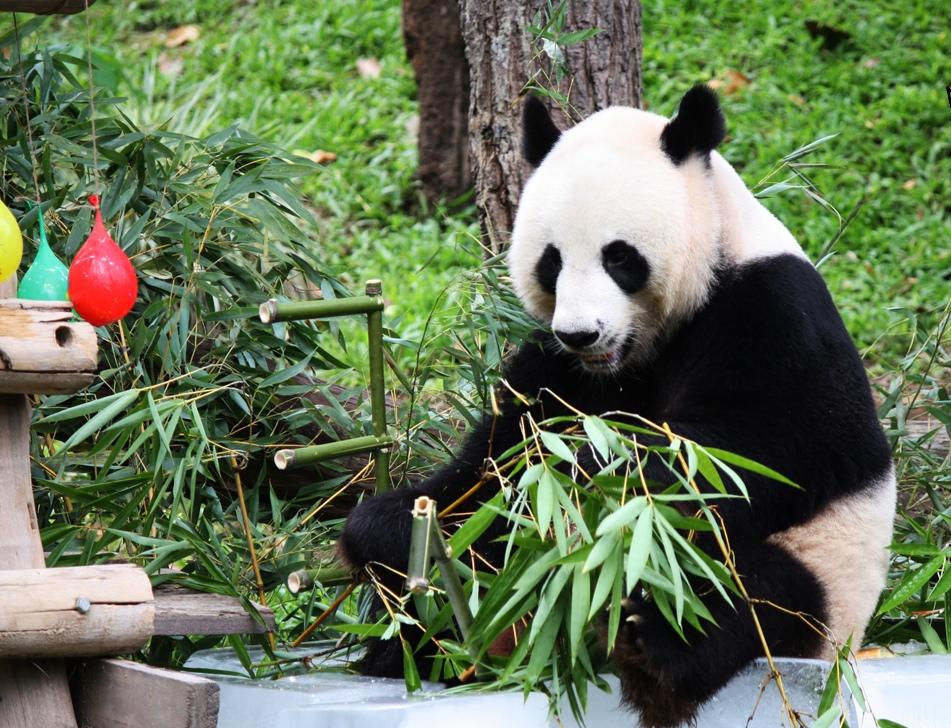 ท่องเที่ยวเชียงใหม่ สวนสัตว์เชียงใหม่ มีสัตว์น้อยใหญ่มากมายและรวมถึงมี หมีแพนด้า ที่ส่งตรงมาจากประเทศจีน