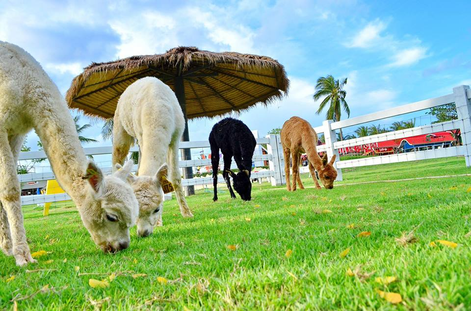 เที่ยวพัทยา ฟาร์มแกะพัทยา ตั้งอยู่บนพื้นที่ 100 ไร่ ฟาร์มแกะที่ใหญ่ที่สุดในประเทศไทย มีแกะให้ชม แล้วยังมีร้านสเต็ก ร้านไอศกรีม รวมถึงร้านค้าขายของที่ระลึกต่าง ๆ มากมาย