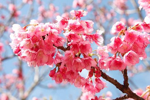 ดอกนางพญาเสือโคร่ง ซากุระเมืองไทย ดอกไม้สีชมพูและบรรยากาศของดอกไม้ที่มีสีชมพูแล้วก็ยิ่งทำให้นักท่องเที่ยวอยากจะมาพักผ่อนหย่อนใจ