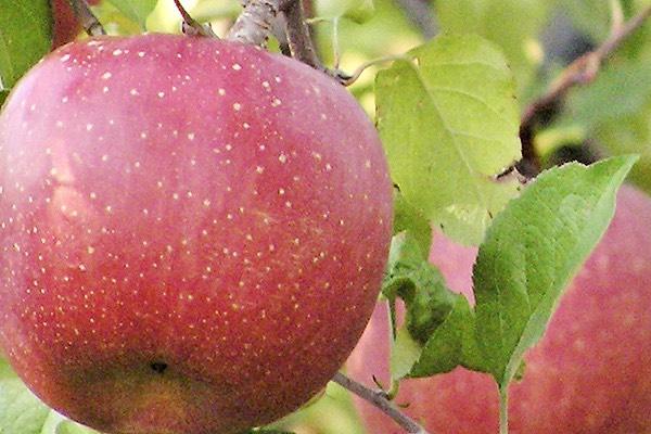 แอปเปิ้ลพันธุ์คาซึมิ