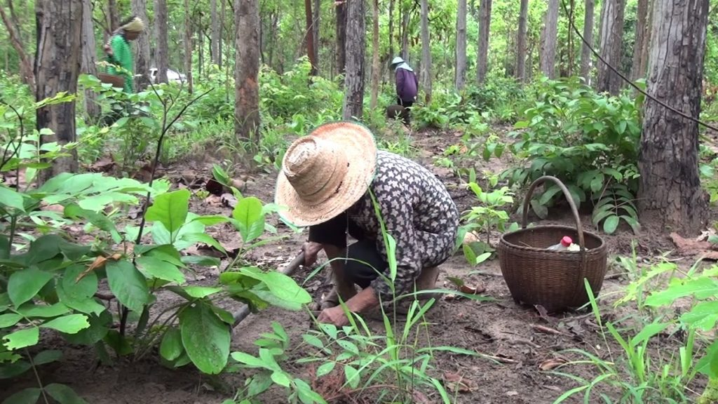 คนไทยที่ ไปเก็บเห็ดที่ลาว เข้าไปด้วยการลักลอบข้ามชายแดนแบบผิดกฎหมาย