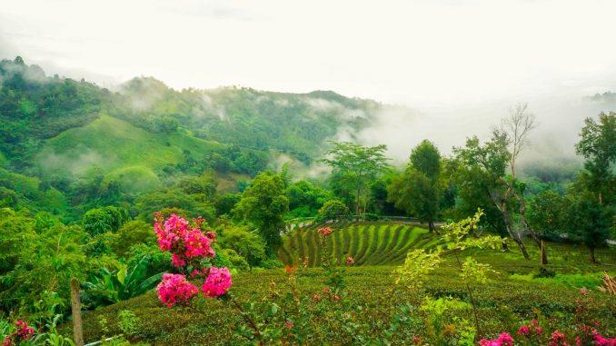ดอยแม่สลอง สถานที่สำหรับดื่มด่ำการจิบชาท่ามกลางหมอกฝน